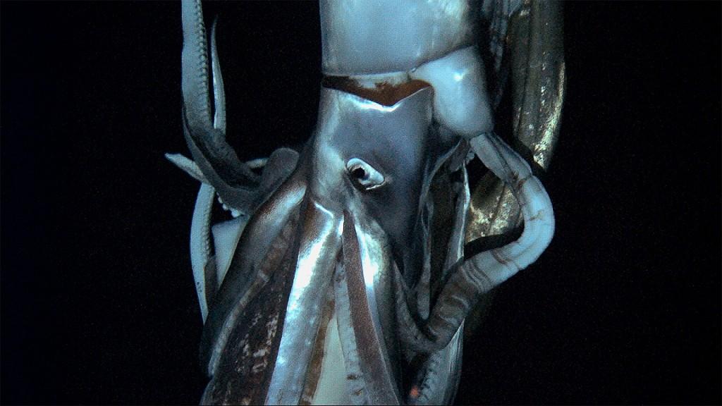calamar géant japon Architeuthis