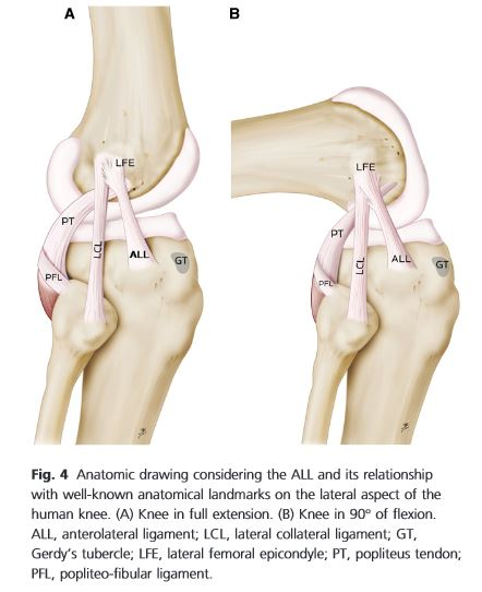 genou humain anatomie ligament
